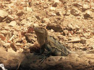 Tortuga Island Lizard Costa Rica