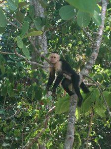 Money Manuel Antonio National Park, Costa Rica